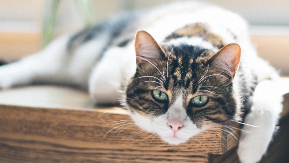 Conoce cuántos años vive un gato y cómo cuidarlo para que te acompañe por más tiempo