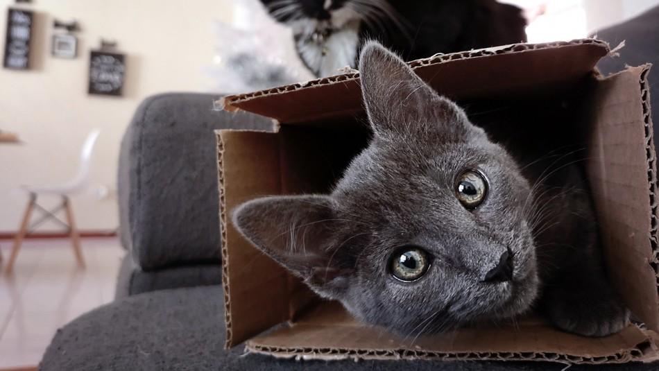 ¿Por qué los gatos aman tanto las cajas?