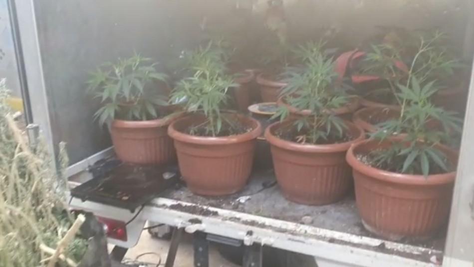 Encuentran cerca de 900 plantas de marihuana en San Miguel: Eran minuciosamente cuidadas