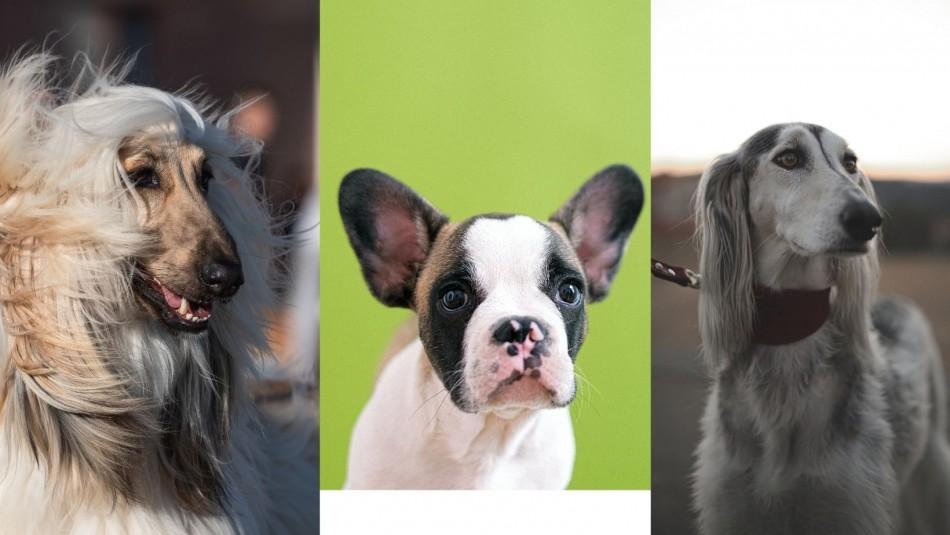 Precios estratosféricos: Estas son las 10 razas de perro más caras del mundo