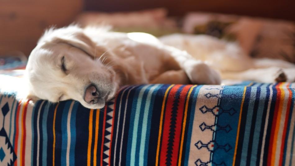 ¿Pueden soñar los perros?: Revisa qué dicen los expertos