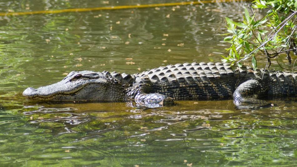 Encuentran el cuerpo de una mujer en Estados Unidos: Se presume que fue atacada por un caimán