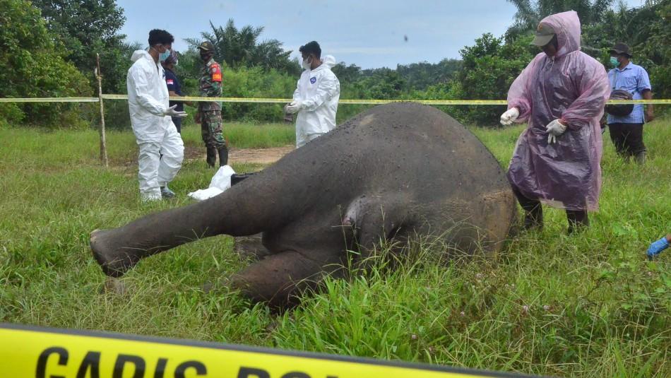 Conmoción por elefante que fue hallado decapitado y sin colmillos: También fue envenenado