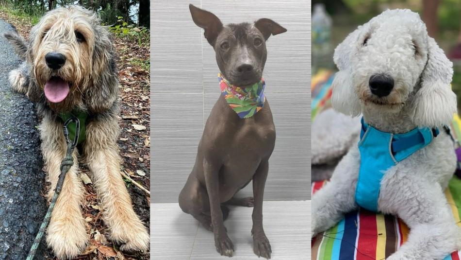 De seguro no los conoces: Las 9 razas de perros más exóticas
