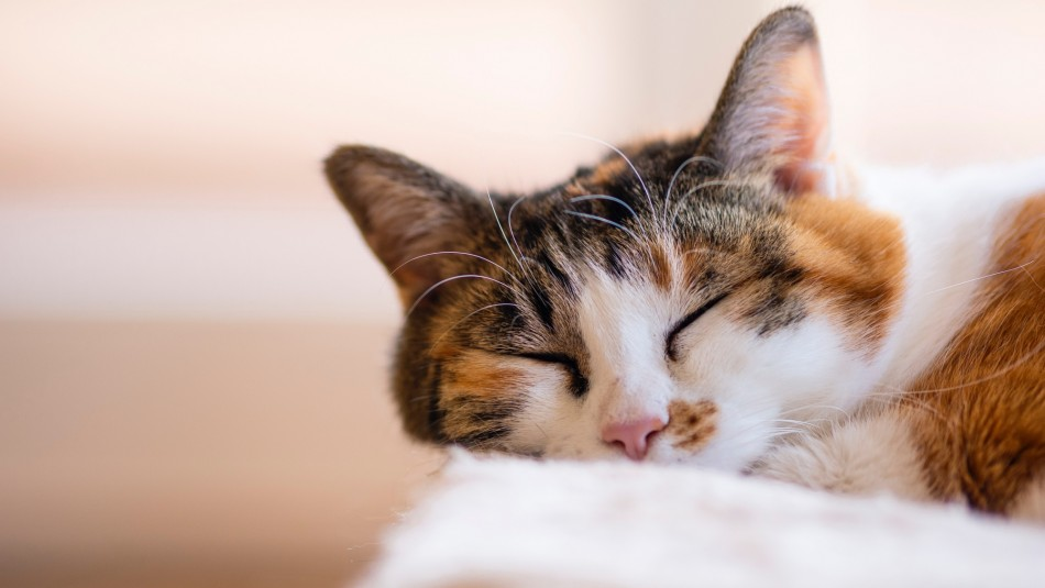 Son considerados de la suerte: ¿Por qué son tan especiales los gatos tricolores?