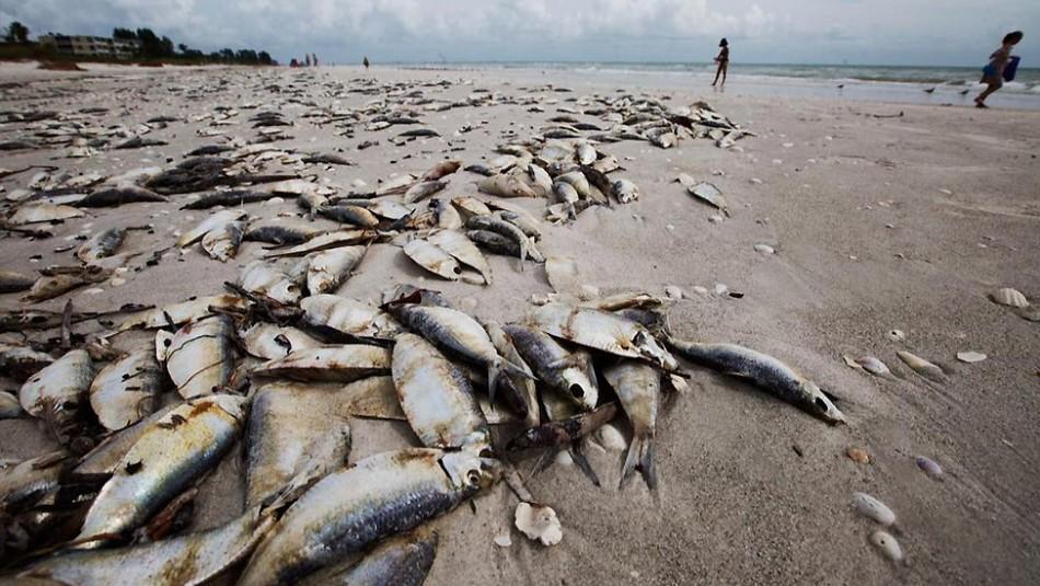 Olor putrefacto y 800 toneladas de peces muertos: Marea roja amenaza a Estados Unidos