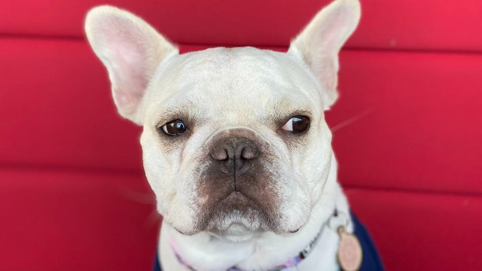 Ni lo intentes: Estudio reveló que perros pueden detectar cuando mientes e incluso te desobedecerán si lo haces