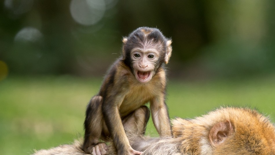 Un pequeño mono que recoge una mascarilla y se la coloca