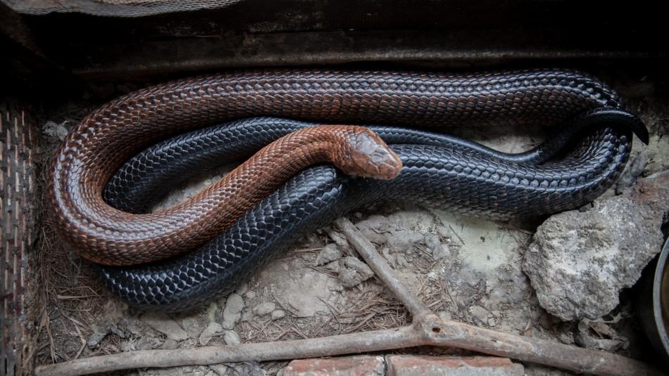 Serpiente venenosa muerde en la cara a una niña de cinco años en un zoológico