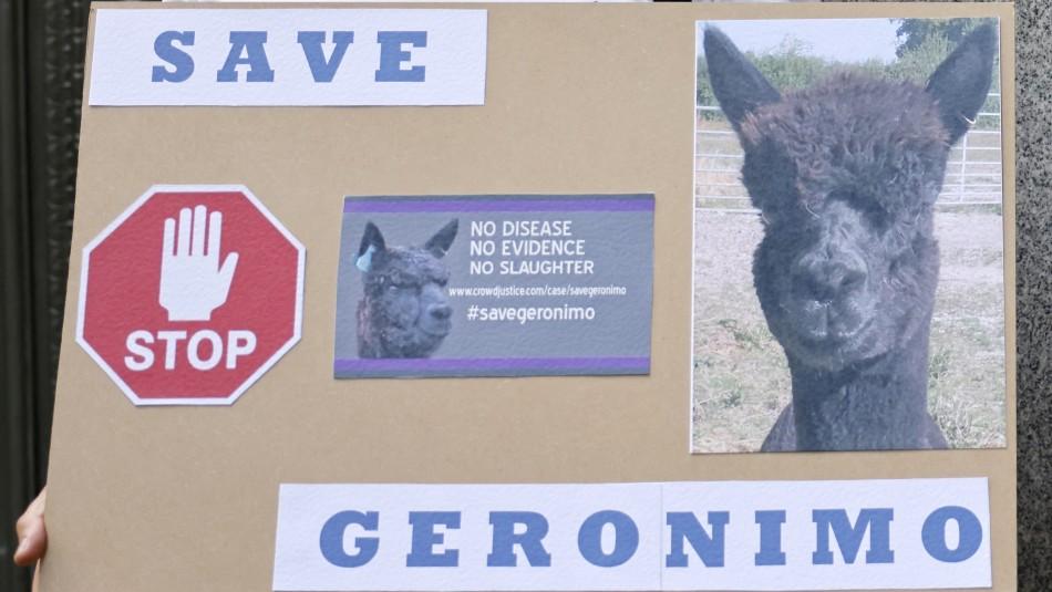 Sacrifican a la alpaca cuyo destino conmocionó a los británicos luego de dar positivo a la tuberculosis bovina