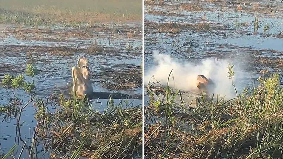 El video que indigna a los ecologistas: Cocodrilo atrapa un dron y explota dentro de su boca