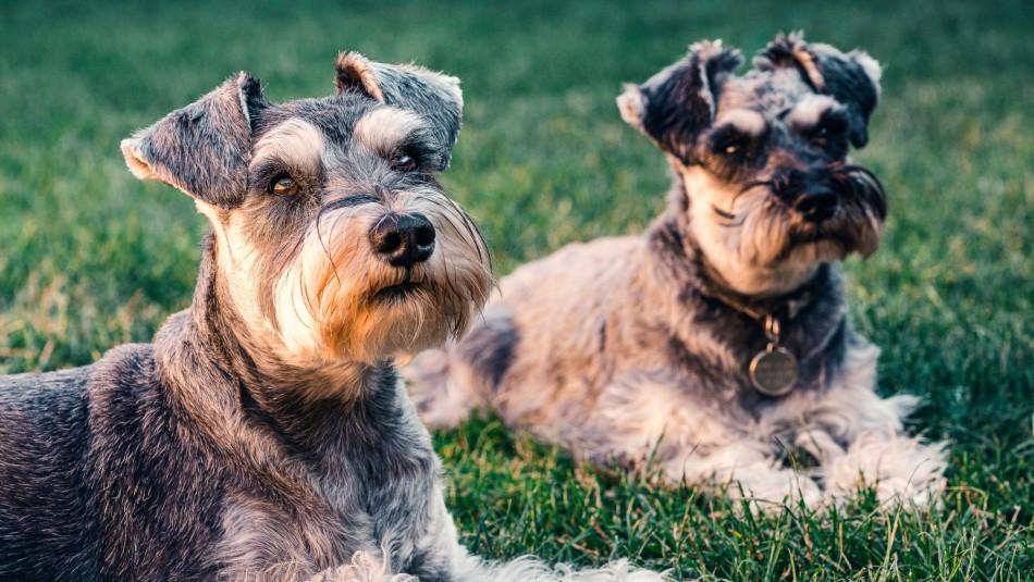 Los más tiernos: Estas son las razas de perros con una versión toy o miniatura