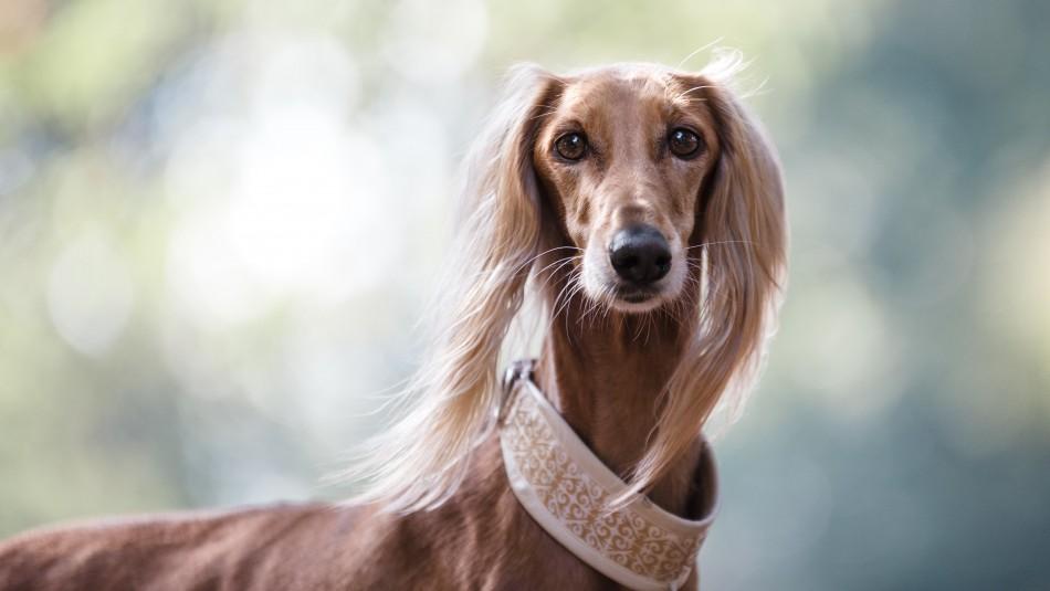 Son muy exclusivos: Estas son las razas de perro más caras del mundo