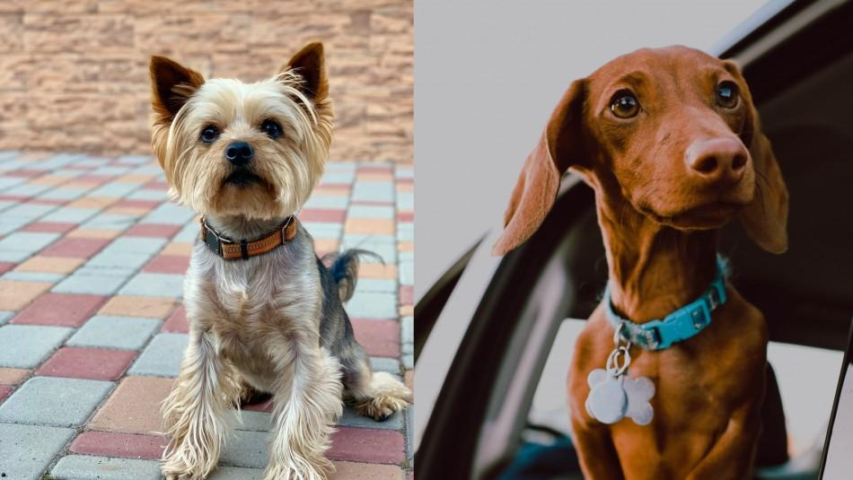 Estarán contigo más tiempo: Estas son las razas de perros más longevas