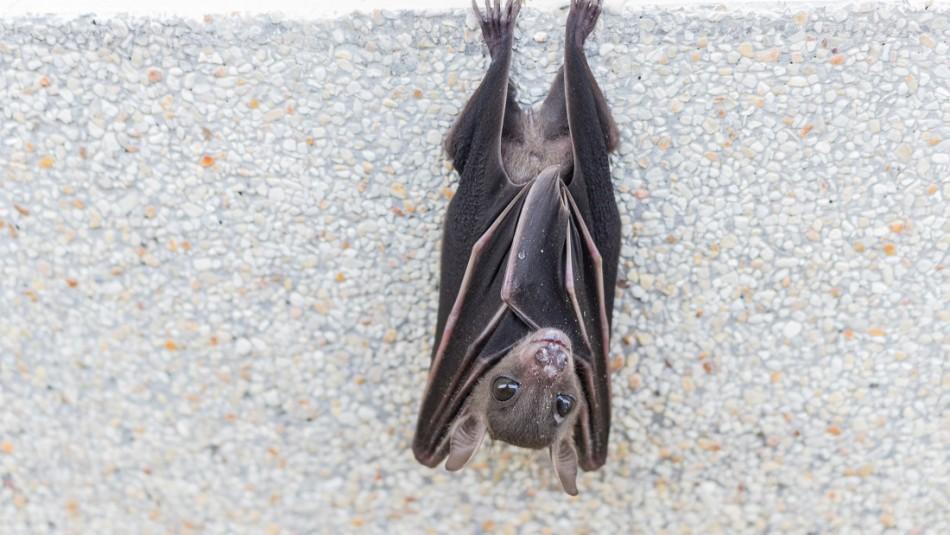 Hombre muere de rabia luego de amanecer con un murciélago en su habitación