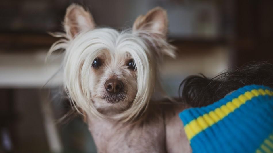 ¿No te gustan los pelos en la ropa?: Estas son 5 razas de perros