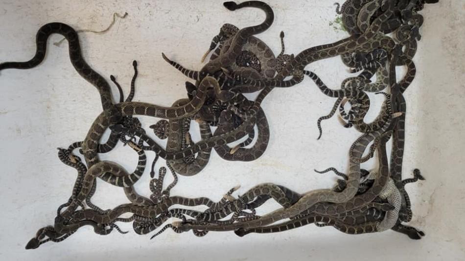 Encuentran más de 90 serpientes cascabel bajo la casa de una mujer
