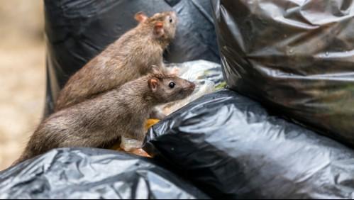 Leptospirosis: La rara enfermedad que pone en riesgo la vida de personas y mascotas en Nueva York